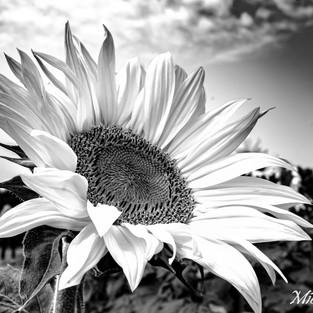 black_and_white_sunflower_set_2.jpg