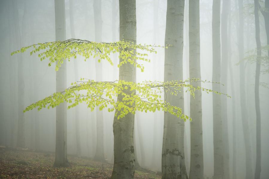 Saxon Switzerland Foggy Forest