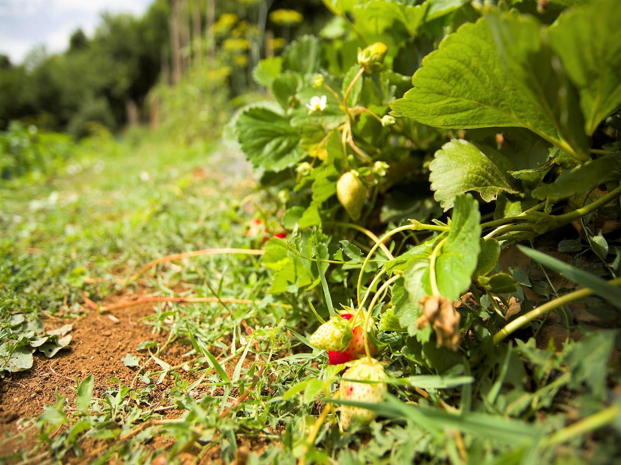 Azienda agricola fragole - Agriturismo