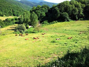 Pascolo bovini Limousine