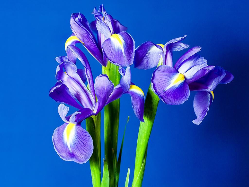 Blue Iris Sibirica