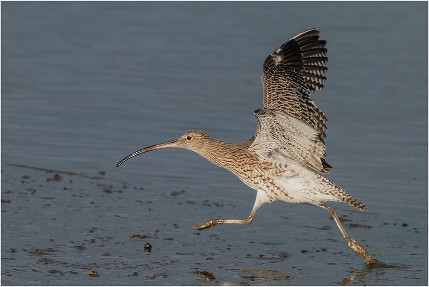 17-03 Curlew