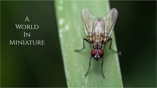 A World in Miniature: House Fly