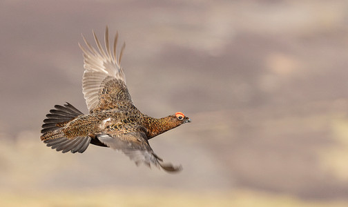 Crossing Grouse - James Anderson