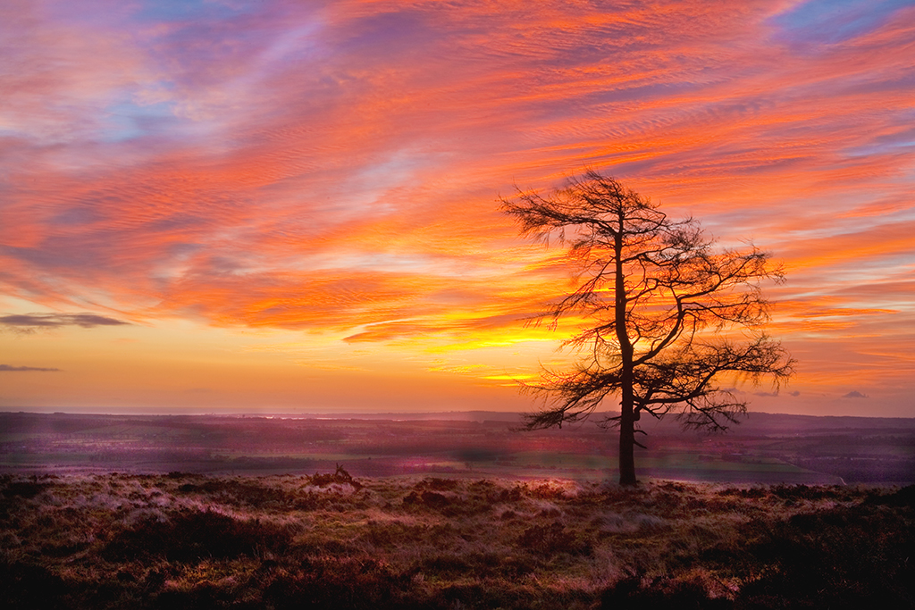 Larch at sunrise