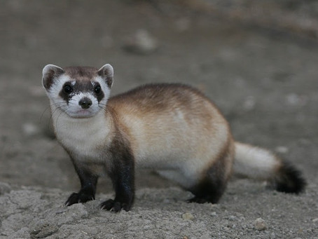 SBB Research Group Partners with WWF to Save Black-Footed Ferrets
