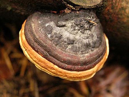 Medicinal Mushroom Series: Mesimakobu (Phellinus linteus)