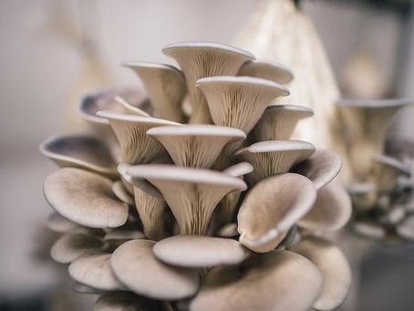 Medicinal Mushroom Series: Oyster Mushroom (Pleurotus ostreatus)