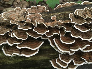 Medicinal Mushroom Series: Turkey Tail (Coriolus versicolor)