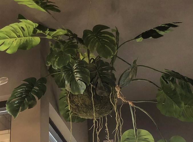 hanging Philodendron