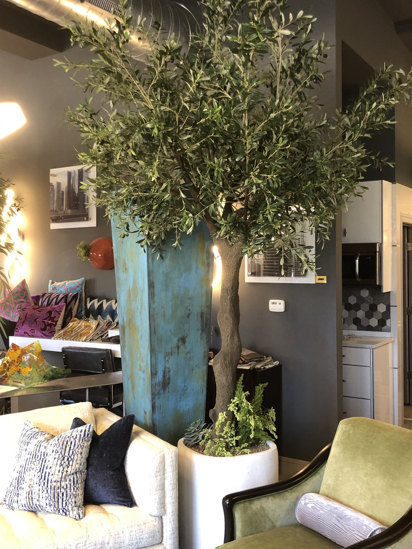 13' olive tree