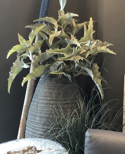 "228"" and 46"" Kalanchoe branches"