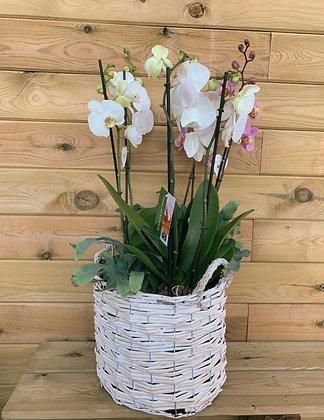 Cesta grande de mimbre orquídeas
