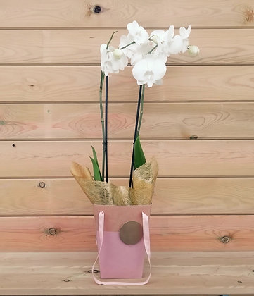 Phalaenopsis Orquidea