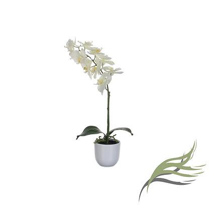Phalaenopsis blanco