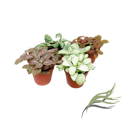 FITTONIA M8 - COLORES MIX