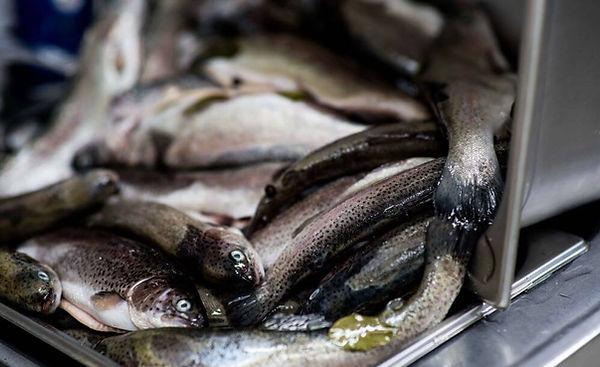 Świeże ryby do wędzarni