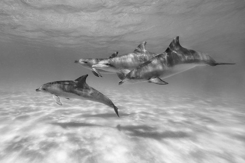 Esperance Dolphins Monochrome