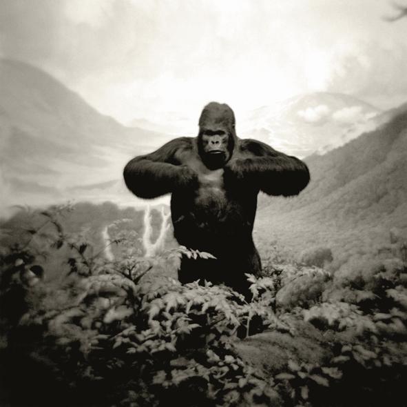 Mountain Gorilla.web.jpg