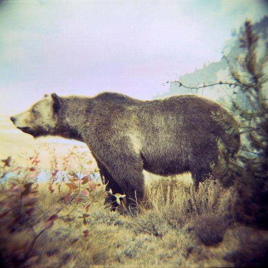 ALASKAN BROWN BEAR, c print 2006