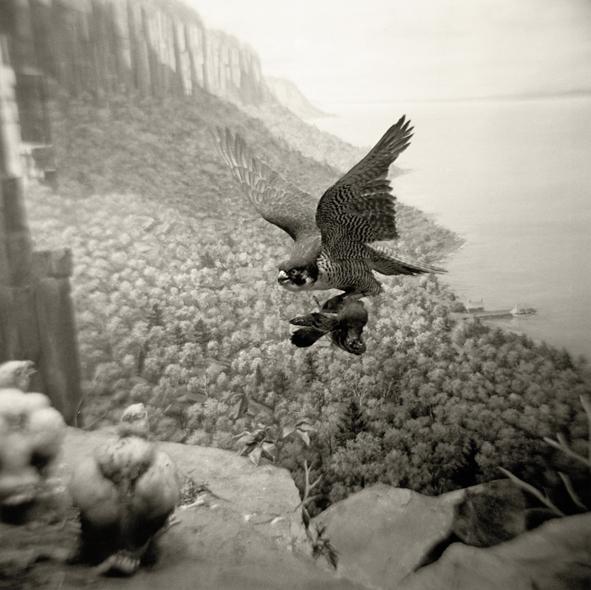 peregrine falcon.web.jpg