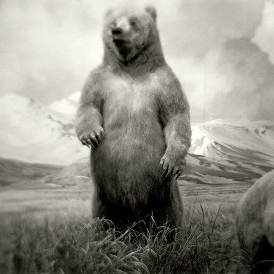 #1. ALASKAN BROWN BEAR, silver gelatin print 2004