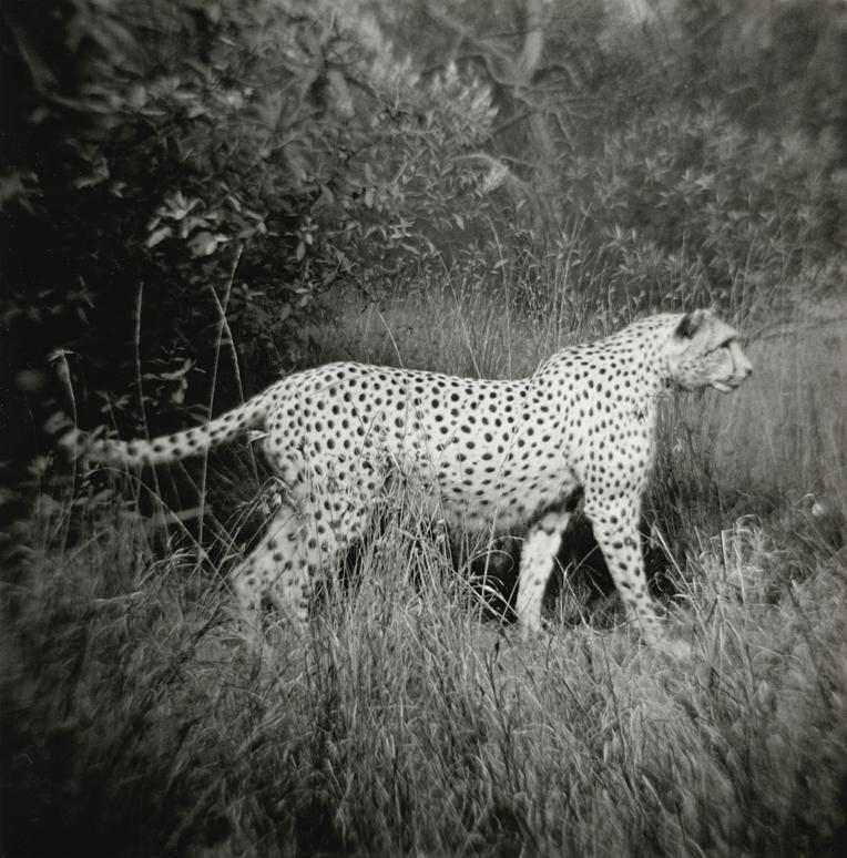 cheetah.web.jpg