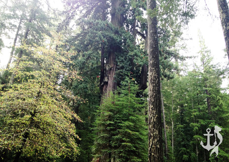 Majestic Giants: The Redwood Forest