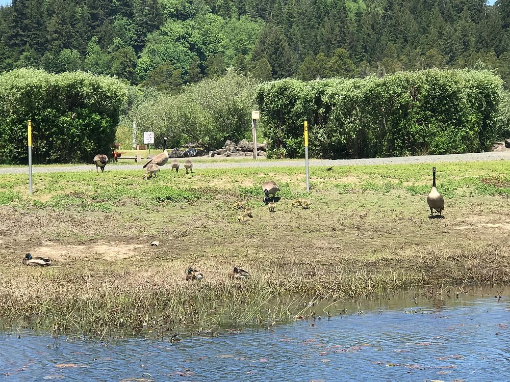 Geese on the shoreline at North Lake RV Resort, Tenmile Lake, Lakeside, Oregon (2018). Photo courtesy of The Yellow Desk.