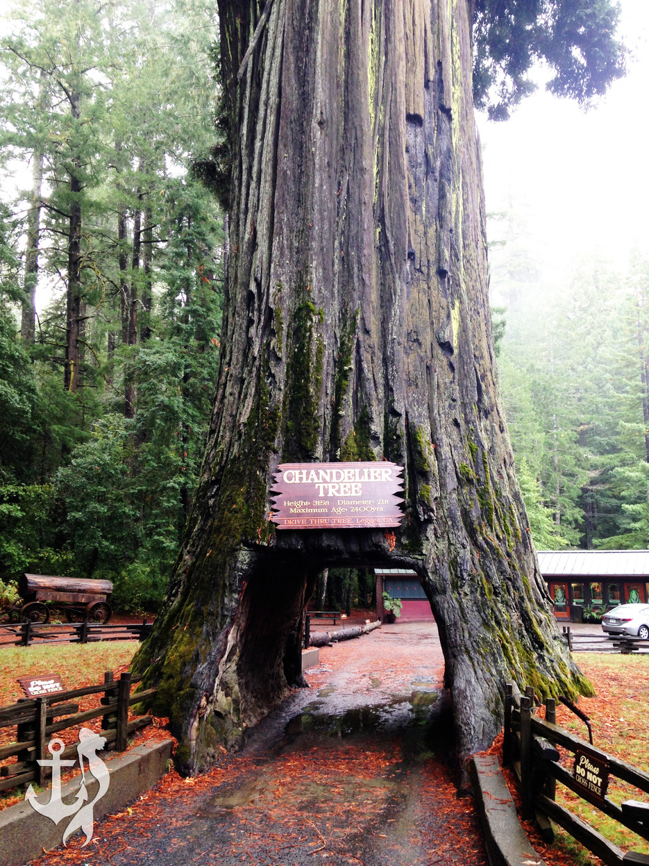Majestic giants the redwood forest lake life oregon coast the woman at the park entrance was correct in her assumption that the blumebulance would not fit through the famous chandelier tree a small car could arubaitofo Gallery