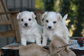 maltese/poodle mix puppy