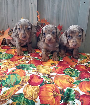 Small Breed Puppies For Sale | The Sexton Family Farm | East