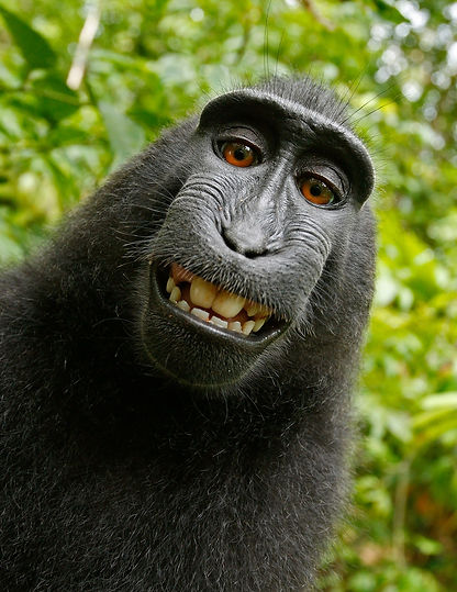 animal-celebes-crested-macaque-funny-505
