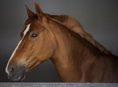 horse profile close up
