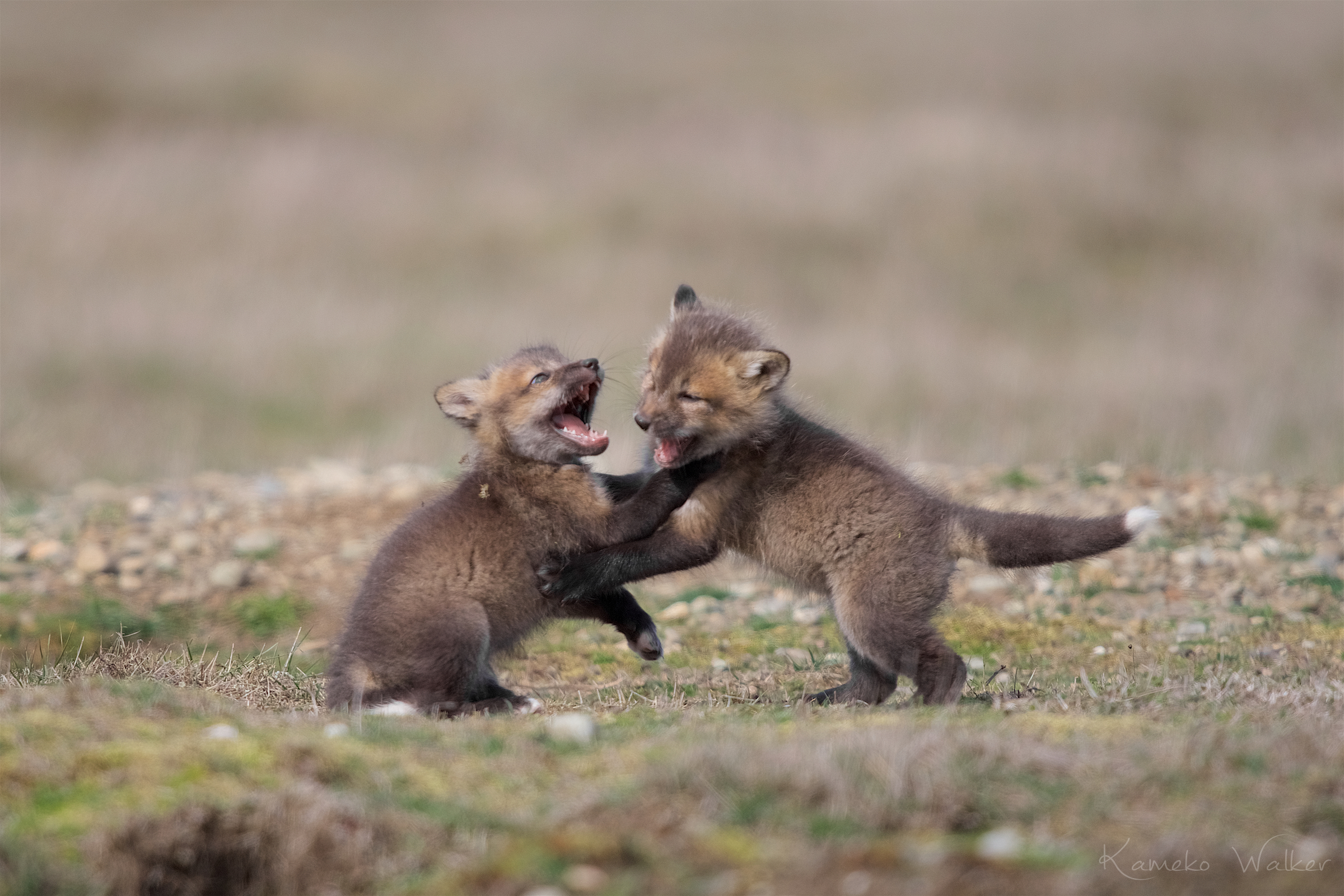 Red Fox Kits Playing