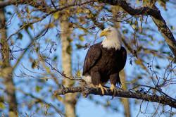 Bald Eagle nest Building