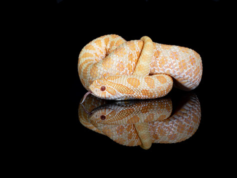 Albino Twinspot