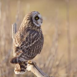 Short-eared Owl on Perch