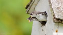 Violet-green Swallow fledglings