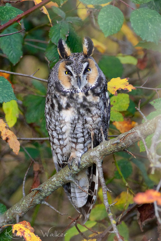 Long-eared Owl in Delta, BC