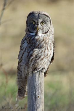 Great Grey Owl on perch