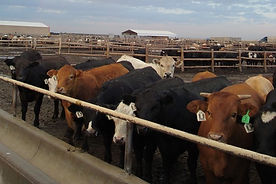 SMS208 - Low-Stress Cattle Handling: Reprocessing - LSCH Reprocesamiento