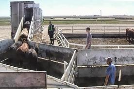 SMS206 - Low-Stress Cattle Handling Shipping - Manejo de Ganado de Bajo Estrés Envío