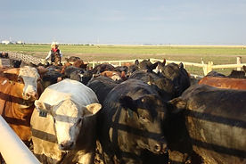 SMS207 - Low Stress-Cattle Handling: Pen Emptying - Vaciado del Corral