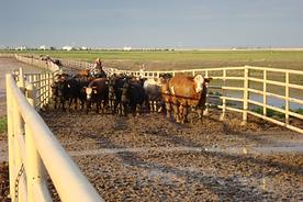 SMS201 - Low-Stress Cattle Handling: The Basics - Manejo de ganado de baja tensión Aspectos Fundamentales