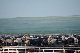 SMS202 - Low-Stress Cattle Handling: Receiving and Initial Processing - Recepcian Y Procesamiento Al Llegar