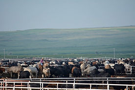 SMS202 - Low-Stress Cattle Handling: Receiving and Initial Processing - Recepcian Y Procesamiento Al Llegar
