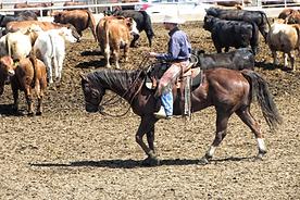 SMS205 - Low Stress Cattle Handling-Pulling Singles - Sacando Ganado-Un Solo Animal