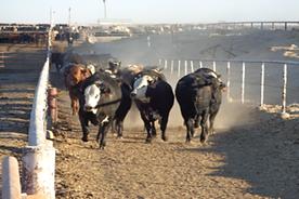 SMS211 - Cowboy Safety: Cattle Movement - Seguidad del Vaquero Movimiento de Ganado