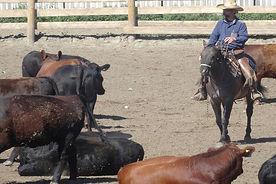 SMS203 - Low-Stress Cattle Handling: Acclimation - Manejo Calmado de Ganado: Aclimatación